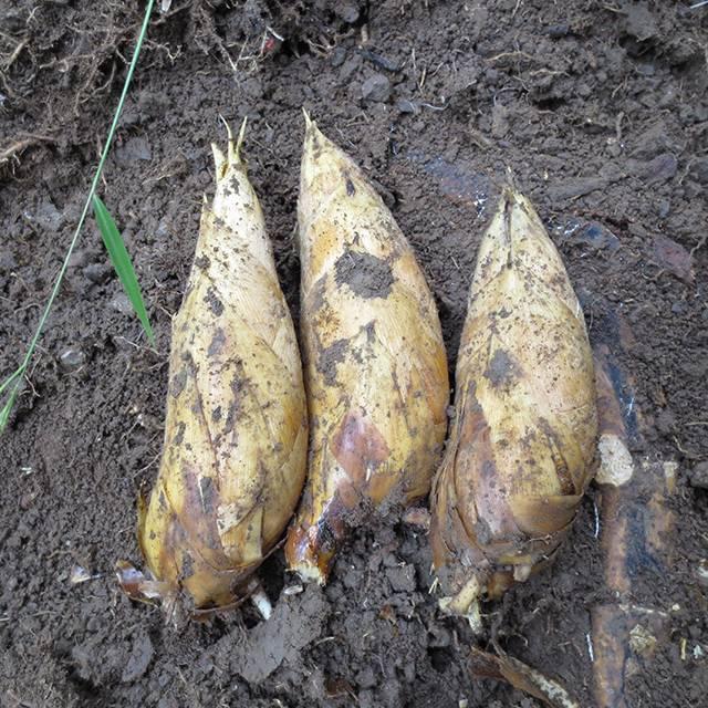限时抢购 新余农家野生冬笋5斤装 新鲜现挖(偏远地区不发)