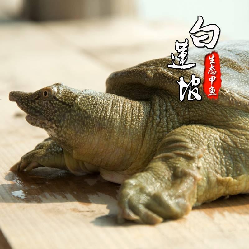 【买一送一】白莲坡生态甲鱼自然生长3年500g团鱼水鱼中华鳖一斤鲜活包邮